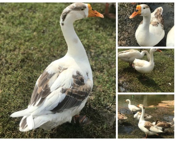 Art-of-living-centre-geese